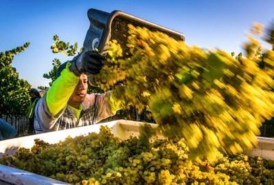 A challenging 2020 harvest season will yield high quality California wines from across the state.  The crop is expected to be smaller.  George Rose photo, courtesy Wine Institute.