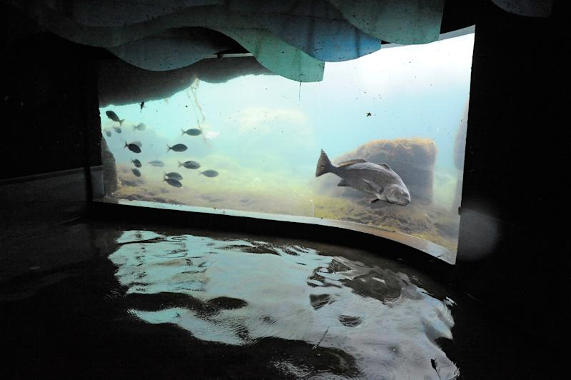 "In this Nov. 1, 2012 photo provided by the Wildlife Conservation Society a black drum fish at Coney Island's New York Aquarium swims in the water of the ""Sea Cliffs"" exhibit, in front of flood waters that inundated the aquarium during superstorm Sandy. Unless power is restored soon, the aquarium says it may have to relocate 12,000 creatures, including walruses, sharks, sea turtles, penguins and a giant octopus. (AP Photo/Wildlife Conservation Society, Julie Larsen Maher)"