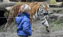 A boy watches a tiger at the reopened zoo in Muenster, Germany, Monday, March 8, 2021. Zoos are allowed to open today after 18 weeks of lockdown due to the coronavirus pandemic. (AP Photo/Martin Meissner)