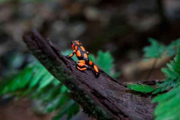 A poisonous harlequin dart frog on a tree trunk in the jungle on Oct. 4, 2012, in Utria National Park, Colombia.