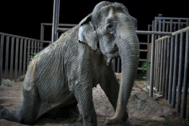 Rescued circus elephant Ramba arrives at Brazil sanctuary