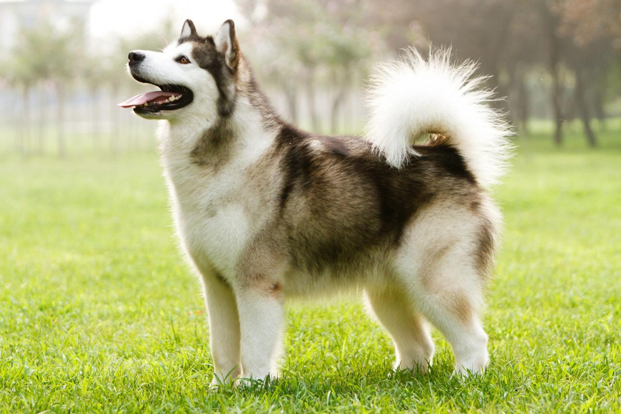 """<p>The <a href=""""https://www.akc.org/dog-breeds/alaskan-malamute/"""">Alaskan Malamute</a> was originally bred for pulling dog sleds so they're comfortable taking the road less traveled. """"It's a very big, powerful version of a Husky,"""" says DiNardo. These dogs have two thick coats to protect them from the cold so, if you spend lots of time in the snow, this dog is the perfect one for you.</p>"""