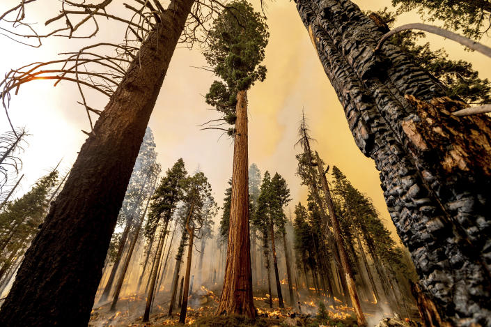 A tree stands in the Trail of 100 Giants grove as flames from the Windy Fire burn behind in Sequoia National Forest, Calif., on Sunday, Sept. 19, 2021. (AP Photo/Noah Berger)
