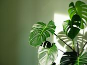 """<p>As well as purifying the air, Swiss cheese plants can induce feelings of calm, trap dust through their large waxy leaves, and help us feel more energised and productive. </p><p><a class=""""link rapid-noclick-resp"""" href=""""https://www.primrose.co.uk/-p-130452.html"""" rel=""""nofollow noopener"""" target=""""_blank"""" data-ylk=""""slk:BUY NOW VIA PRIMROSE"""">BUY NOW VIA PRIMROSE</a></p>"""