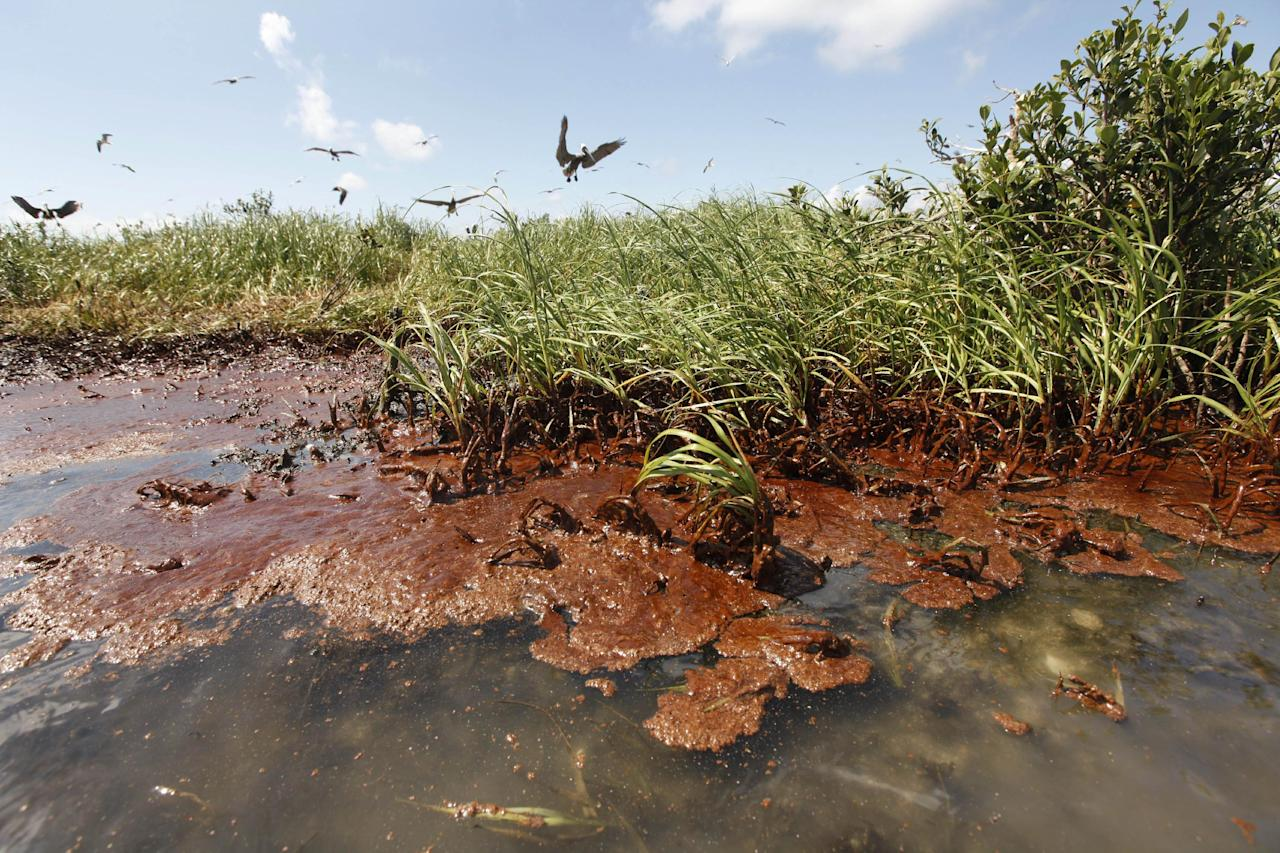 FILE - In this May 22, 2010 file photo, nesting pelicans are seen landing as oil washes ashore on Cat Island in Barataria Bay, in Plaquemines Parish, La. (AP Photo/Gerald Herbert, file)