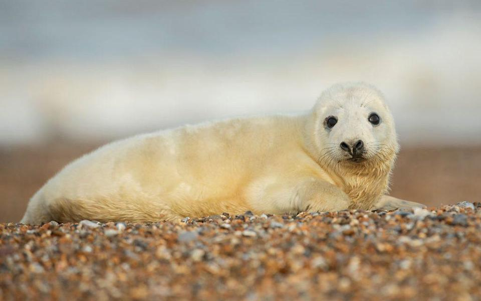 A seal at Blakeney Point - Getty