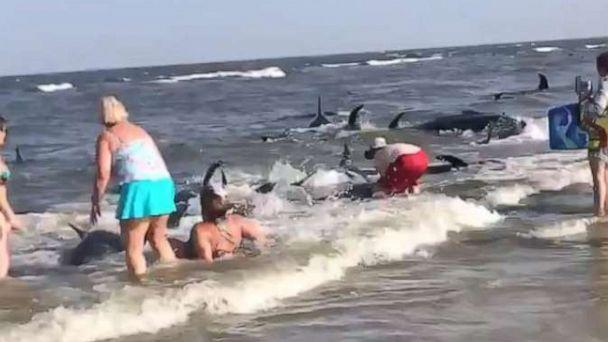 PHOTO: Beachgoers on St. Simons Island in Georgia attempted to push pilot whales back into the ocean after they beached themselves on Tuesday, June 16. (@Lauren2point_oh/Twitter)