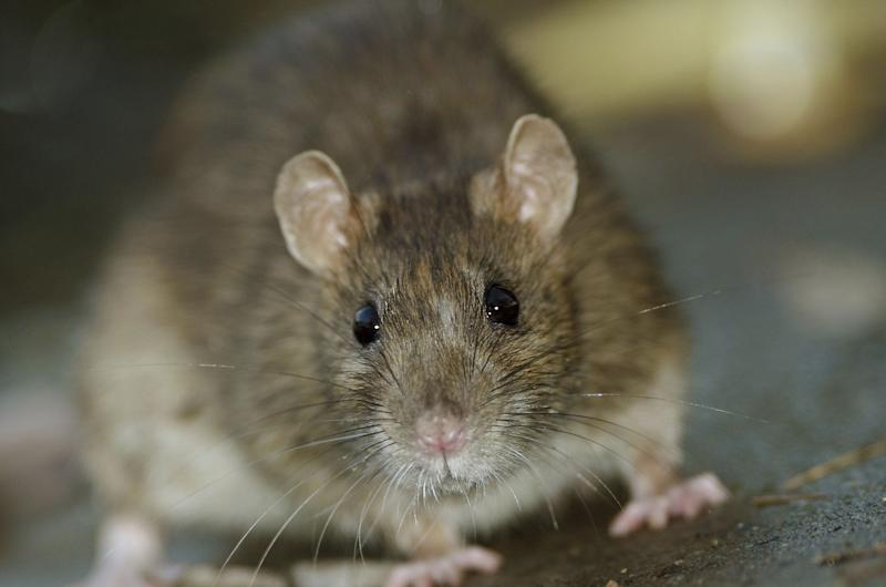 "The brown rat contributed to Orkin naming Chicago the ""Rattiest City."""