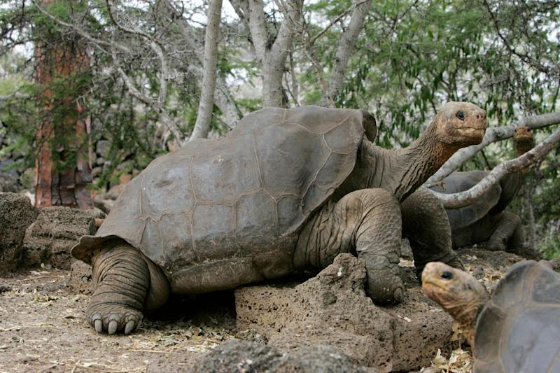 """When Lonesome George died at the age of 100 in 2012, <a href=""""http://www.nytimes.com/2012/07/03/science/death-of-lonesome-george-the-tortoise-gives-extinction-a-face.html"""" target=""""_blank"""">the world mourned</a>. Believed to be the last <a href=""""http://www.iucnredlist.org/details/9017/0"""" target=""""_blank"""">Pinta giant tortoise</a> on the planet, George, who&rsquo;d lived in a research station on the Galapagos Islands, had become a poster animal for endangered species worldwide. <br /> <br /> &ldquo;It is a very sad story for all of us,&rdquo; Christian Saa, a national park ranger, told The New York Times after the tortoise&rsquo;s death. <br /> <br /> &ldquo;He was like a member of the family to me,&rdquo; said Faust Llerena, the 74-year-old ranger who&rsquo;d cared for George for decades. &ldquo;To me, he was everything.&rdquo; <br /><br /> The Galapagos Islands had once been home to a thriving population of giant tortoises. Hunting by sailors, pirates and merchantmen in the 17th, 18th and 19th centuries, however, decimated their numbers. More than <a href=""""http://animals.nationalgeographic.com/animals/reptiles/galapagos-tortoise/"""" target=""""_blank"""">100,000 tortoises</a> are believed to have been killed over that period. <br /> <br /> Today, an estimated 15,000 giant tortoises remain on the island, all of them considered endangered and strictly <a href=""""http://www.galapagos.org/conservation/conservation/project-areas/ecosystem-restoration/tortoise-restoration/"""" target=""""_blank"""">protected</a> by the Ecuadorian government."""