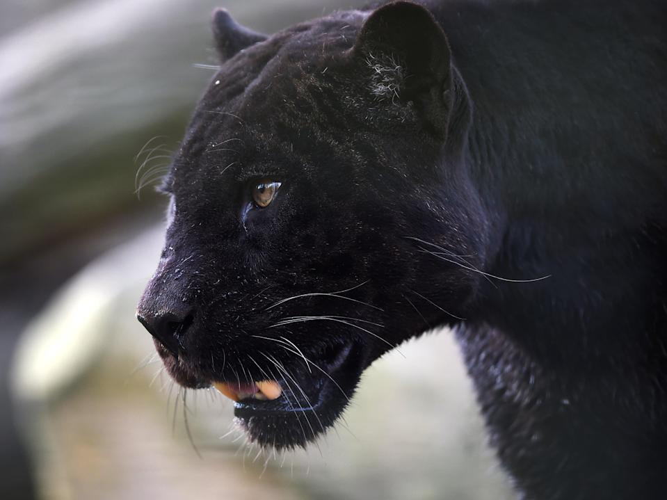 A black panther strolls through its enclosure at the Zooparc de Beauval in Saint-Aignan, central France (AFP via Getty Images)