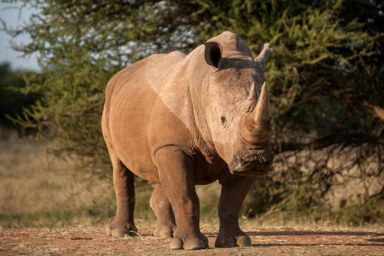 Africa's rhinos could be extinct within 20 years at the rate they are being poached, Wildlife Direct says