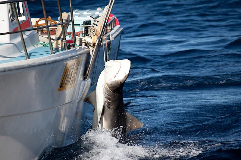 A tiger shark is caught off Moses Rock in Western Australia, in this photo by Sea Shepherd Australia on February 22, 2014 (AFP Photo/Sea Shepherd Australia Ltd)
