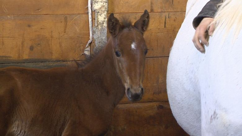Orphaned P.E.I. foal saved by another mare's milk