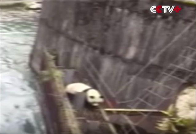 The panda fell into a river in China's Sichuan province. Source: CCTV
