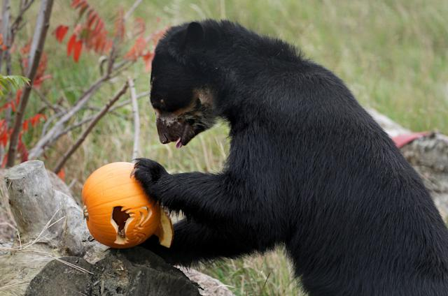 <p>A spectacled bear at Port Lympne Reserve near Ashford, Kent, enjoys some enrichment with Halloween pumpkins filled with treats on Oct. 17, 2017. (Photo: Gareth Fuller/PA Wire via ZUMA Press) </p>