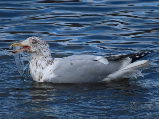 A second gull was entangled in plastic rings used for soda or beer cans.
