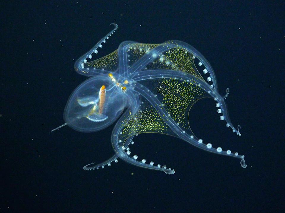 The octopus, known as Vitreledonella richardi, has only a few visible features - its optic nerve, eyeballs and digestive tract (Schmidt Ocean Institute)