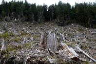 The stump of a large tree is seen among the debris of an area previously logged in a cut block of Tree Farm licence 46 near Port Renfrew