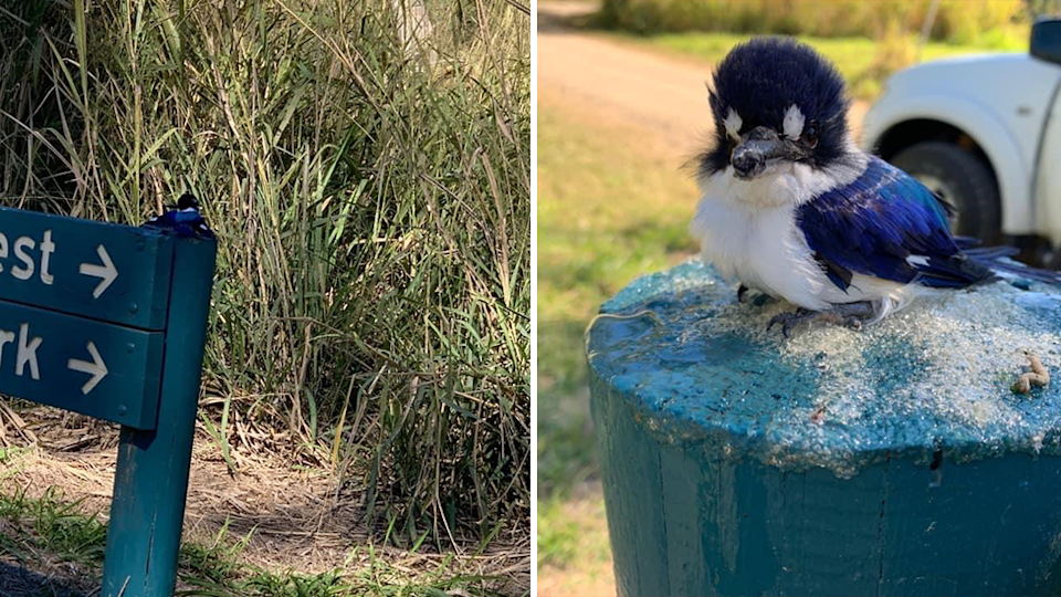 Split screen. Left - wide shot of kingfishers attached to sign at Cathu State Forest. Right - close up of the surviving kingfisher on a post.