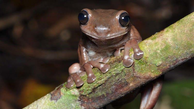 Litoria mira, the world's most delicious frog