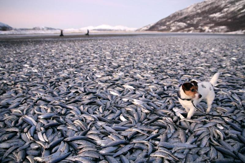 In this image taken Saturday Dec. 31, 2011  Molly the dog walks amongst the dead herring on a beach  at Kvaenes northern Norway.  Norwegians were puzzled on New Year's Eve, tens  if not hundreds  of thousands of dead herrings carpeted a coastal stretch in northern Norway.  Speculations began whether predators had driven a huge school ashore. Or if a powerful storm with hurricane-strength winds that hit Norway on Dec. 25 had washed the creatures ashore. (AP Photo/Jan Petter Jørgensen / Scanpix / Norway) NORWAY OUT