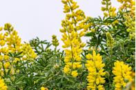 """<p>The tall, spiky flowers of lupine start blooming in late spring. Plant in a sunny spot—while lupine can tolerate some shade, it won't bloom as well. Make sure you've got well-draining soil and water regularly. </p><p><a class=""""link rapid-noclick-resp"""" href=""""https://www.amazon.com/Big-Pack-Delight-hartwegii-MySeeds-Co/dp/B07RJ1R8BT/ref=sr_1_2?tag=syn-yahoo-20&ascsubtag=%5Bartid%7C10050.g.32157369%5Bsrc%7Cyahoo-us"""" rel=""""nofollow noopener"""" target=""""_blank"""" data-ylk=""""slk:SHOP NOW"""">SHOP NOW<br></a></p>"""