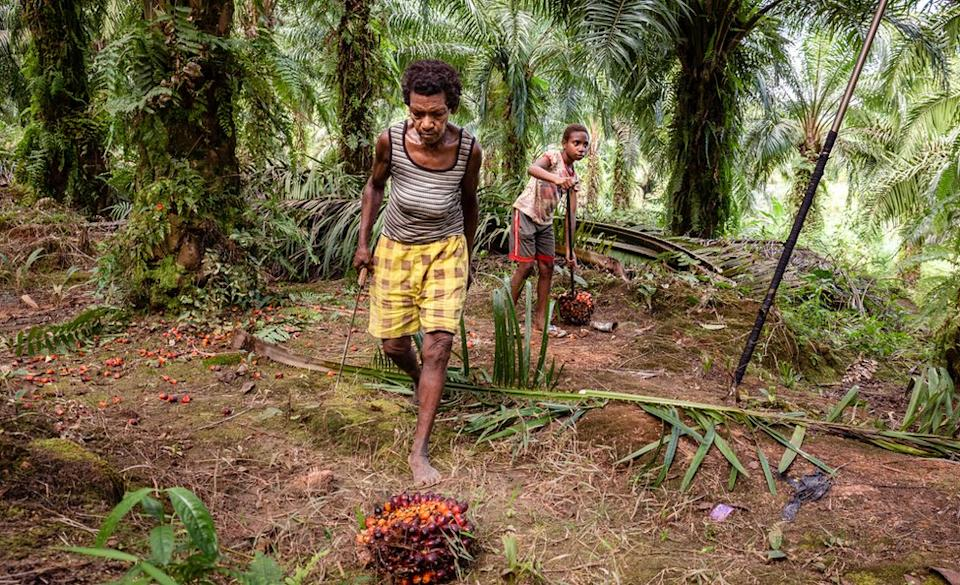 Workers on one of Korindo's palm oil plantations, picking up the palm oil fruit