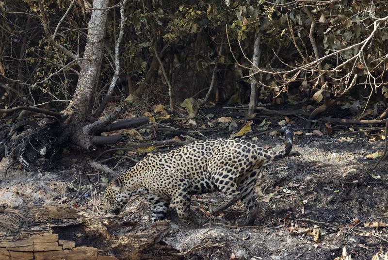 A jaguar walks at an area recently scorched by wildfires at the Encontro das Aguas park in the Pantanal wetlands near Pocone, Mato Grosso state, Brazil, Sunday, Sept. 13, 2020. Firefighters, troops and volunteers have been scrambling to find and rescue jaguars and other animals before they are overtaken by the flames, which have been exacerbated by the worst drought in 47 years, strong winds and temperatures exceeding 40 degrees centigrade (104 fahrenheit). (AP Photo/Andre Penner)