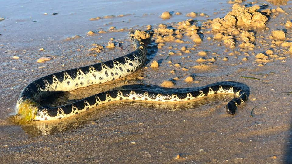 The woman picked this snake up and put it back in the ocean. Source: Facebook