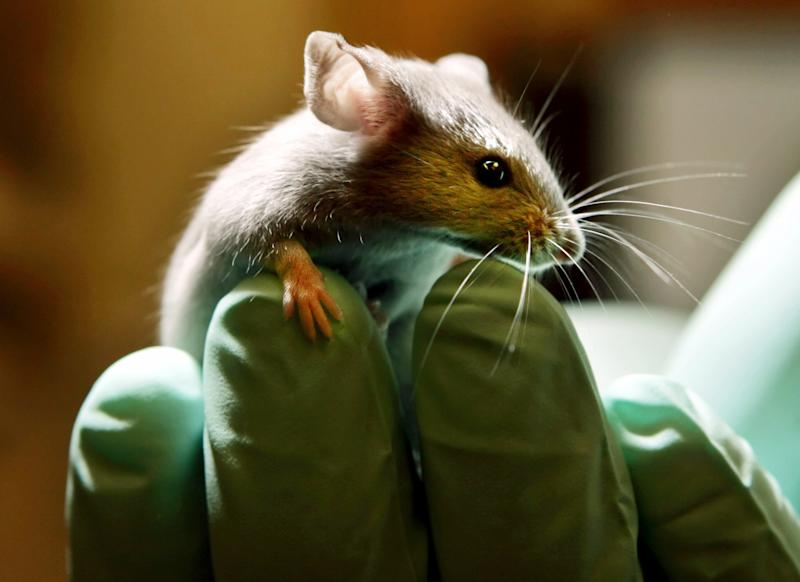 FILE - This is a  Tuesday, Jan. 24, 2006 file photo of  a laboratory mouse as it looks over the gloved hand of a technician at the Jackson Laboratory, in Bar Harbor, Maine. The lab ships more than two million mice a year to qualified researchers.  Medical research in the U.K. is being jeopardized by activists who have persuaded transport companies to stop importing animals for scientific experiments, a former British science minister says.  (AP Photo/Robert F. Bukaty, File)
