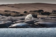 this polar bear is hiding his face to protect itself from barflies
