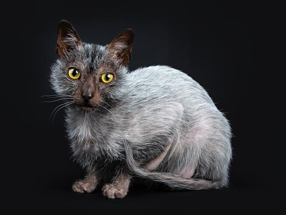 "<p>The <a href=""https://cfa.org/lykoi/"" rel=""nofollow noopener"" target=""_blank"" data-ylk=""slk:Lykoi"" class=""link rapid-noclick-resp"">Lykoi</a> cat is a new breed, but you will greet them with open arms once you realize how sweet they are. Better known as the Werewolf Cat, the Lykoi has a bare face that lends to their goofy disposition. Their fine coat is silky to the touch and has a textured color pattern that is nonexistent in other breeds (a ""roan"" coat is more typically found on guinea pigs and horses). That is all to say, you will definitely have a unique roommate on your hands if you decide to adopt a Lykoi.</p>"