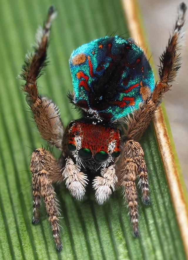 Maratus laurenae: Peacock spiders are tiny. Just a few mm in length