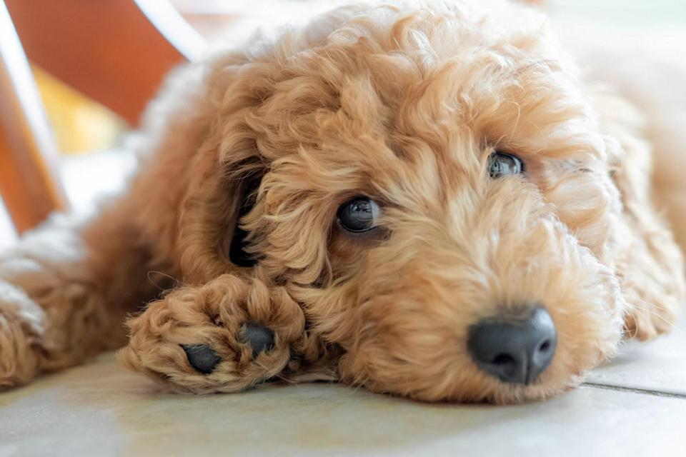 A Labradoodle dog laying down