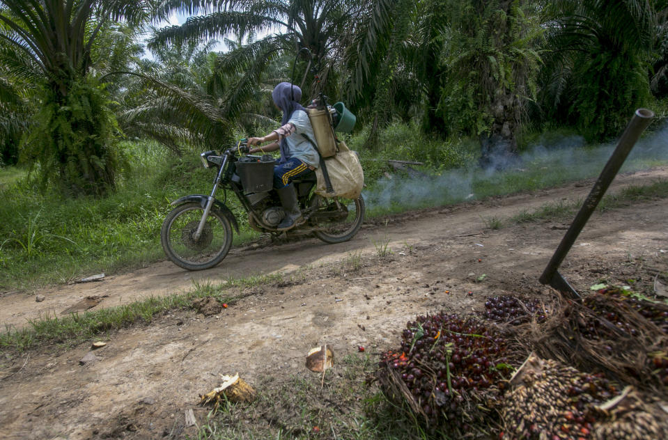 A woman rides a motorbike with a container full of pesticide on her back in a palm oil plantation in Sumatra, Indonesia, Monday, Nov. 13, 2017. Female workers carry loads so heavy that, over time, their wombs can collapse and protrude from their bodies. In some cases, they spray toxic chemicals banned in many countries and linked to serious health problems. (AP Photo/Binsar Bakkara)