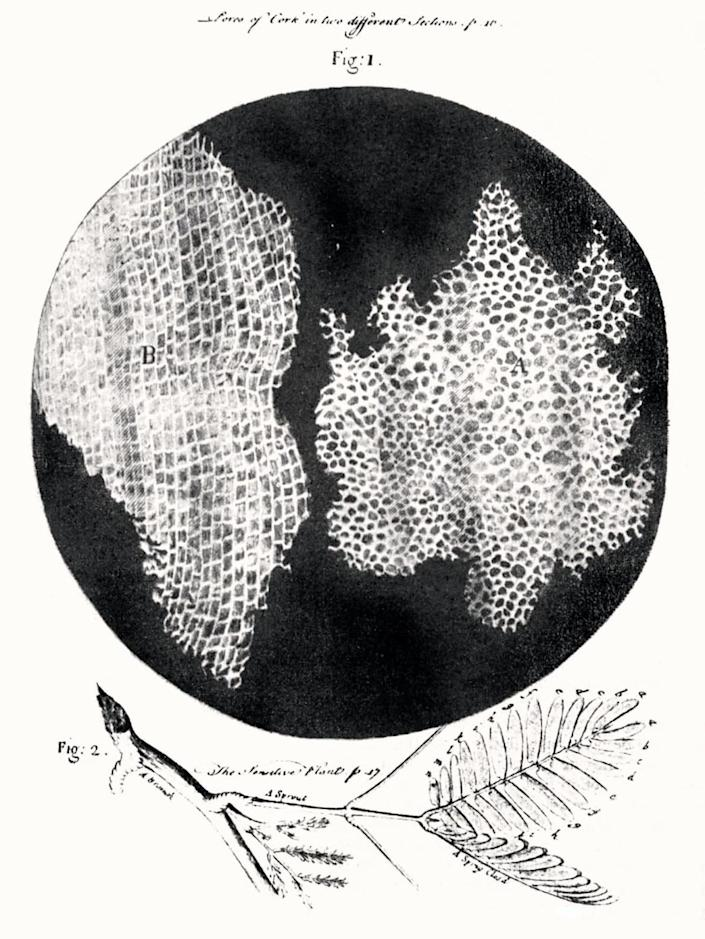 """<div class=""""inline-image__caption""""> <p>Hooke's famous etching of the tiny magnified cells he saw in a piece of cork.</p> </div> <div class=""""inline-image__credit""""> Wikimedia Commons </div>"""