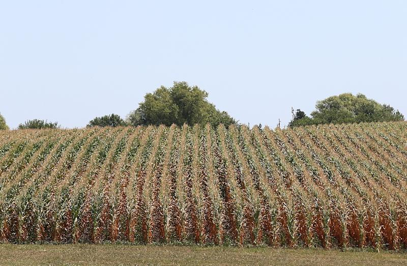 The US grain is cheaper than Brazil and Argentina's corn, at $198 a ton (AFP Photo/Justin Sullivan)