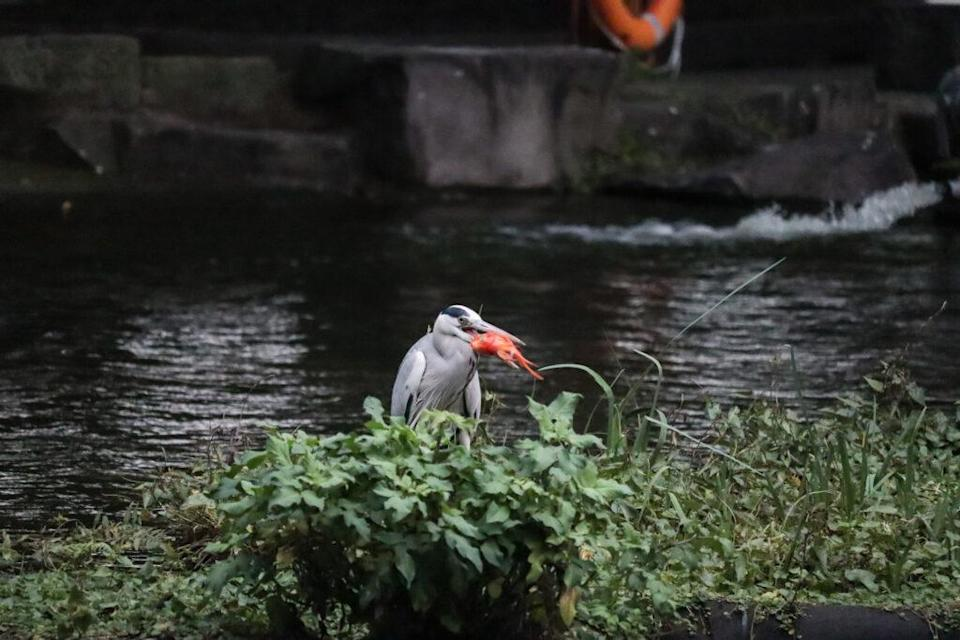 Tried as it might, the poor bird could not swallow the fish. (Photo courtesy of Nial Stewart)