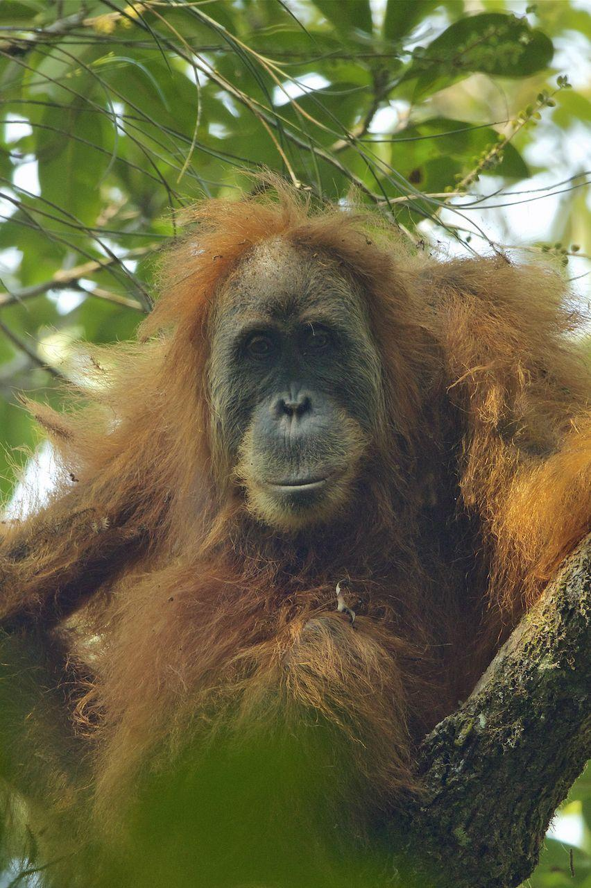 "<p><strong>Scientific classification:</strong> <em>Pongo tapanuliensis</em></p><p><strong>Location:</strong> Indonesia</p><p>The orangutan, along with humans, gorillas, and chimpanzees, are members of the great ape family. The orangutans are the only Asian great ape, and are a bit more distantly related to us than the gorilla or our very close cousins, the chimps and bonobos. All three species of orangutans—the Sumatran, the Bornean, and the recently discovered Tapanuli—are critically endangered, with around 60,000 surviving across all three species.<br></p><p>The Tapanuli is perhaps the most endangered, estimated to only have around <a href=""https://www.neprimateconservancy.org/tapanuli-orangutan.html"" rel=""nofollow noopener"" target=""_blank"" data-ylk=""slk:800 individuals"" class=""link rapid-noclick-resp"">800 individuals</a> surviving in the wild. The Sumatran, which lives near the Tapanuli but is only distantly related, only has around 6,600 individuals remaining. The Bornean orangutan—oddly more closely related to the more geographically distant Tapanuli—has a modestly more robust population, though it's only around 54,000 individuals across four subspecies. </p><p>There are ongoing efforts to save our intelligent cousin species, but poaching and deforestation stand largely in the way.</p>"
