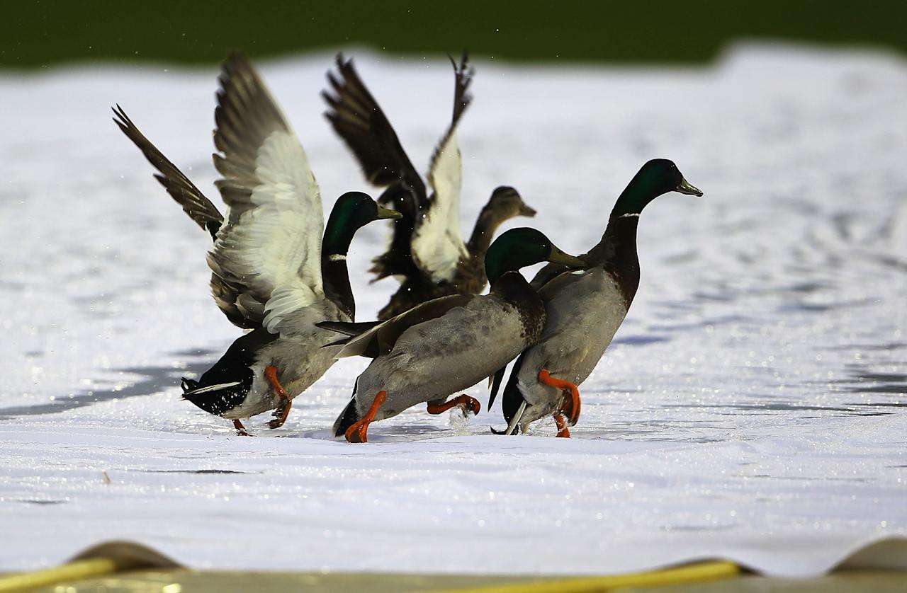NORTHAMPTON, ENGLAND - JUNE 08:  Four ducks play on the covers, as rain delays the start of the Friends Provident T20 match between Northamptonshire and Leicestershire at the County Ground on June 8, 2010 in Northampton, England.  (Photo by Matthew Lewis/Getty Images)