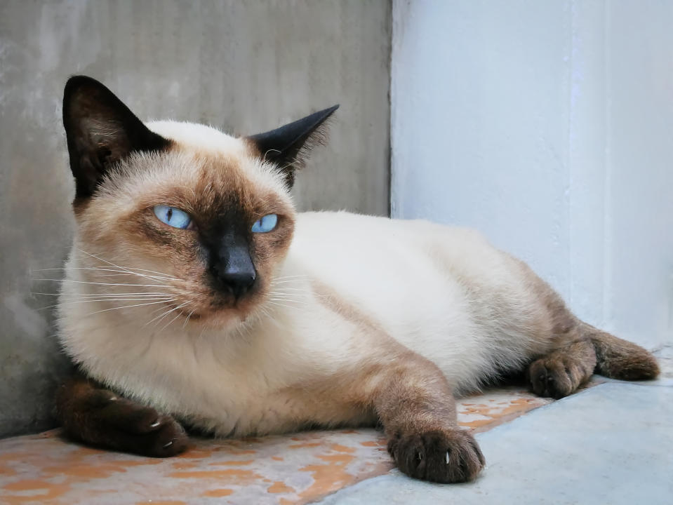 Close-up Portrait of Brown Siamese Cat Lying Down Looking at Camera