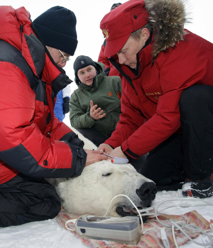 Russian Prime Minister Vladimir Putin (R) attaches a tracking collar to a 230-kg (507-pound) polar bear as he assists in polar bear research during his visit to Alexandra Land on Franz Josef Land in the far north of Russia in the Barents Sea April 29, 2010.  REUTERS/RIA Novosti/Pool/Alexei Nikolsky