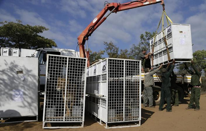 <p>Emoya Big Cat Sanctuary workers offload a cage carrying a former circus lion in Vaalwater, South Africa, on May 1, 2016. <i>(Themba Hadebe/AP)</i></p>