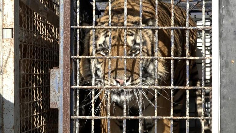 The nine tigers that survived the journey were taken in by two Polish zoos last week