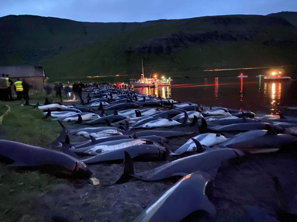 In this image released by Sea Shepherd Conservation Society the carcasses of dead white-sided dolphins lay on a beach after being pulled from the blood-stained water on the island of Eysturoy which is part of the Faeroe Islands Sunday Sept. 12, 2021. The dolphins were part of a slaughter of 1,428 white-sided dolphins that is part of a four-century-old traditional drive of sea mammals into shallow water where they are killed for their meat and blubber. (Sea Shepherd via AP)