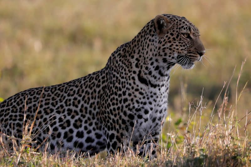FILE PHOTO: A leopard sits in the grass in the Maasai Mara National Reserve