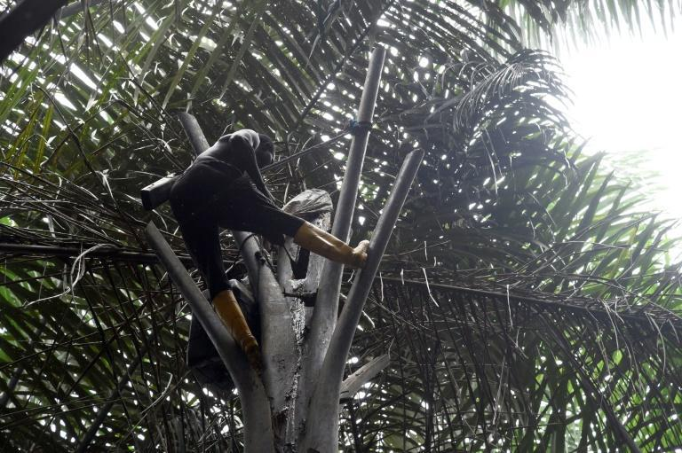 Ovwiroro attaches a container to a cut in the tree trunk to collect the sap, which is sweet and non-alcoholic in its unfermented state (AFP/Pius Utomi EKPEI)