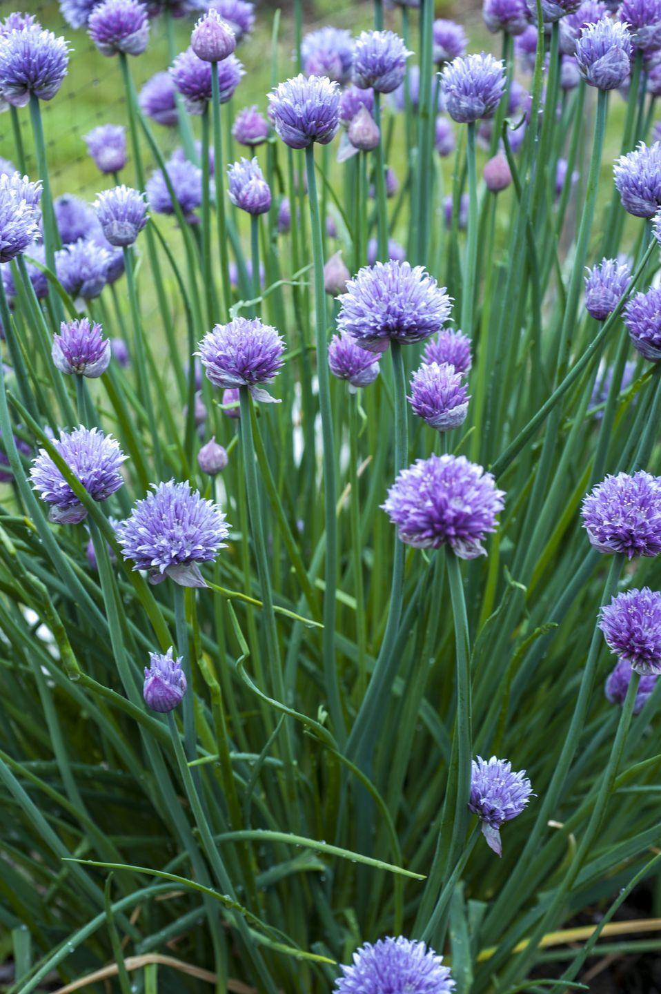 """<p>Chives grow in tidy clumps and are topped with pretty purple flowers in mid-spring. Both the leaves and flowers are completely edible. They also self-sow so new chive plants may pop up in your garden later on. Chives are delicious in potato dishes, soups, salads, and basically any recipe that could use a mild onion flavor. </p><p><a class=""""link rapid-noclick-resp"""" href=""""https://shop.bonnieplants.com/products/onion-chives?ef_id=EAIaIQobChMIlo3Ny6Dj8AIVYolbCh3IuQncEAQYASABEgLHuPD_BwE%3AG%3As&s_kwcid=AL%214676%213%21476941640772%21%21%21g%211211065321414%21&kpid=go_cmp-10070754691_adg-109732586062_ad-476941640772_pla-1211065321414_dev-c_ext-_prd-202020_sig-EAIaIQobChMIlo3Ny6Dj8AIVYolbCh3IuQncEAQYASABEgLHuPD_BwE&gclid=EAIaIQobChMIlo3Ny6Dj8AIVYolbCh3IuQncEAQYASABEgLHuPD_BwE"""" rel=""""nofollow noopener"""" target=""""_blank"""" data-ylk=""""slk:SHOP NOW"""">SHOP NOW</a></p>"""