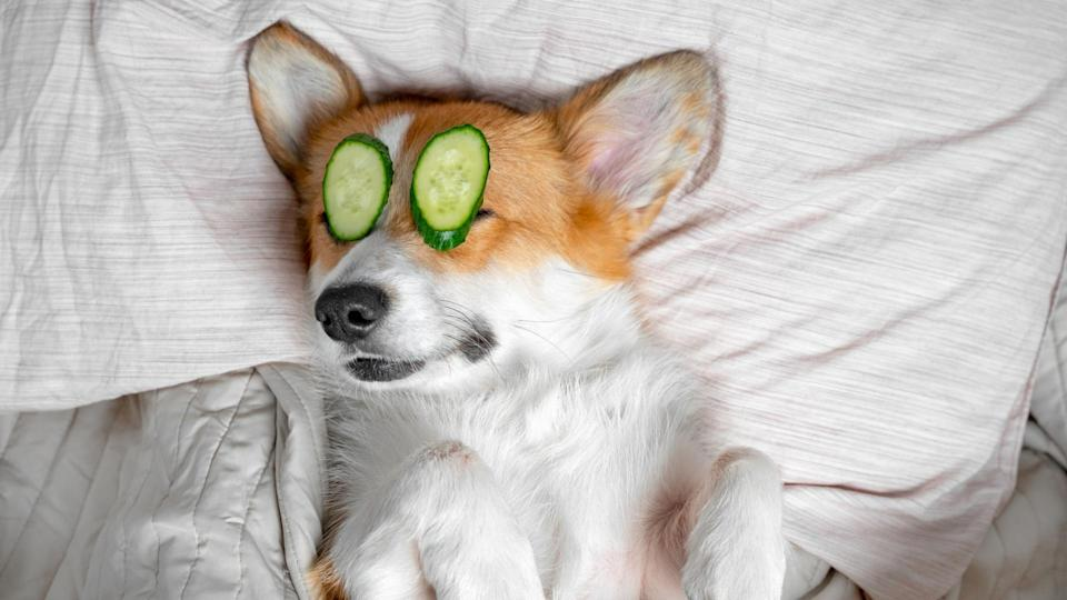 cute-red-and-white-corgi-lays-on-the-bed-relaxed-from-spa-procedures-picture-id1193591572