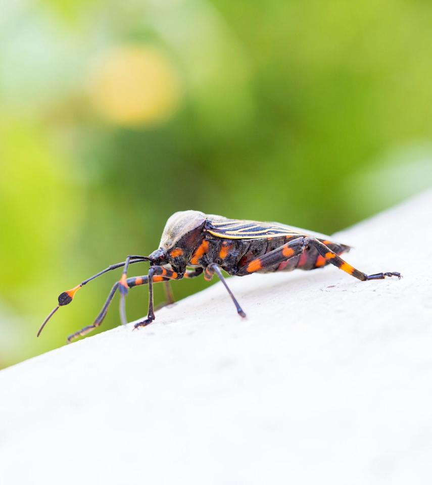 """<p>Found across the southern United States, these parasitic creepy-crawlers carry <a rel=""""nofollow"""" href=""""https://www.goodhousekeeping.com/health/wellness/news/a44280/kissing-bugs-chagas-disease/"""">Chagas disease</a>, an infection that can double or triple your risk of death. More than 300,000 people in the country currently live with it, and most don't even realize, according to the <a rel=""""nofollow"""" href=""""https://www.cdc.gov/parasites/npi/"""">Centers for Disease Control</a>. Triatomine bugs  -  also called kissing, assassin, or vampire bugs  -   hide indoors and out and usually bite humans while they're sleeping.</p>"""